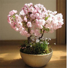 10 Bonsai Japanese Sakura Seeds