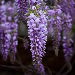 10 seeds/pack Purple Wisteria Flower Seeds