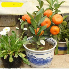 10 Pcs / Bag Balcony Terrace Potted Citrus Seeds