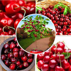 10pcs/Bag Red Cherry Bonsai Seeds-Rama Deals