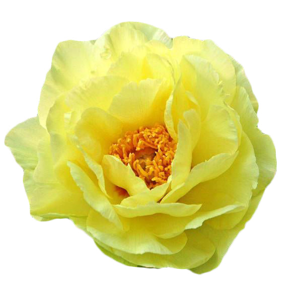 15pcs Yellow Peony Seeds-Rama Deals
