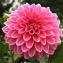20 Dahlia Seeds - Mixed Color