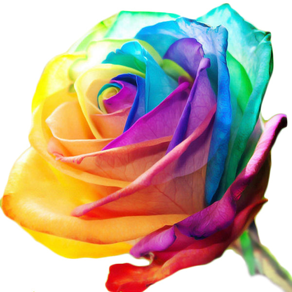 25 Rare Holland Rainbow Rose Flower Seeds-Rama Deals