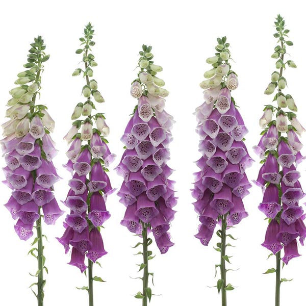 Clearance 20pcs Foxglove Mixed Color Flower Seeds-Rama Deals