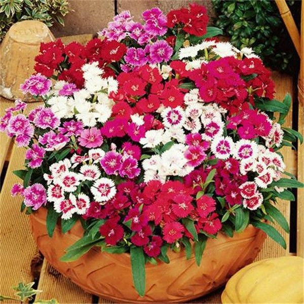 50 Multicolored Dianthus Seeds-Rama Deals