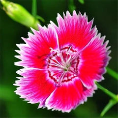 50 Multicolored Dianthus Seeds