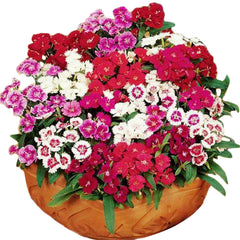 50 Multicolored Dianthus Seeds - Rama Deals - 1