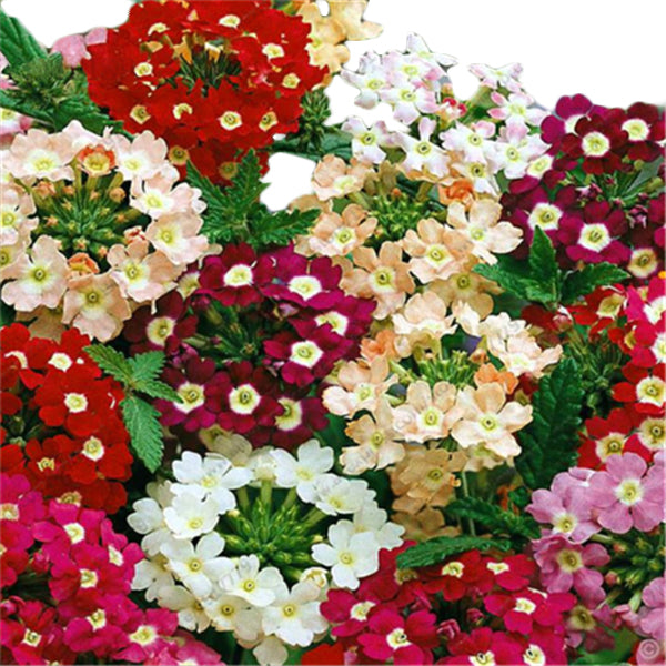 50pcs Mixed Color Verbena Hybrida Rare Bonsai flower seeds Indoor balcony plants flower seeds-Rama Deals