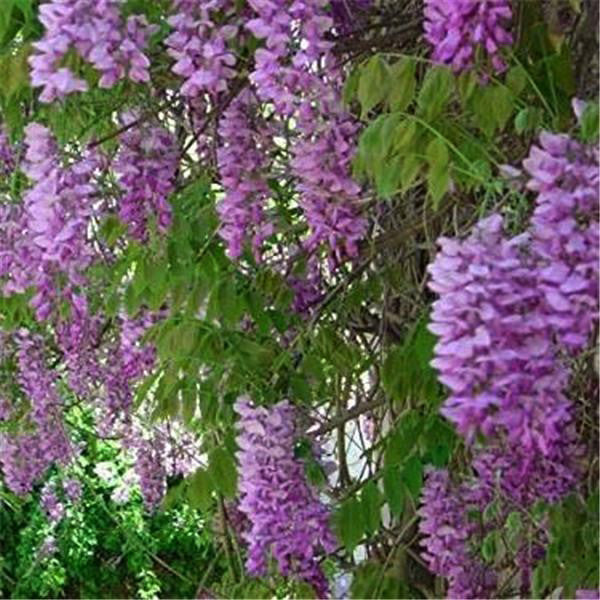 Clearance 10 Seeds of Wisteria Sinensis Flower Tree-Rama Deals