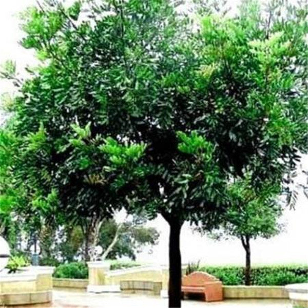Clearance 10 Seeds of Carob Tree-Rama Deals