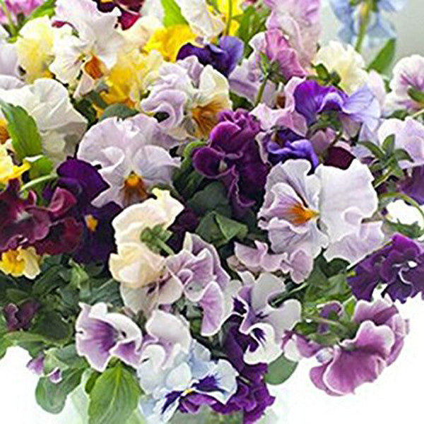 Clearance 100seeds/Pack Beautiful Pansy Seeds Mix Color-Rama Deals
