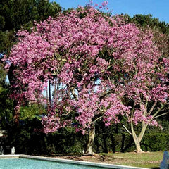 Pink Dogwood Tree seeds