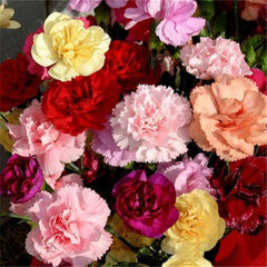 20 Carnations Dianthus Seeds-Rama Deals