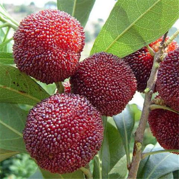 Arbutus (5 Seeds)-Rama Deals