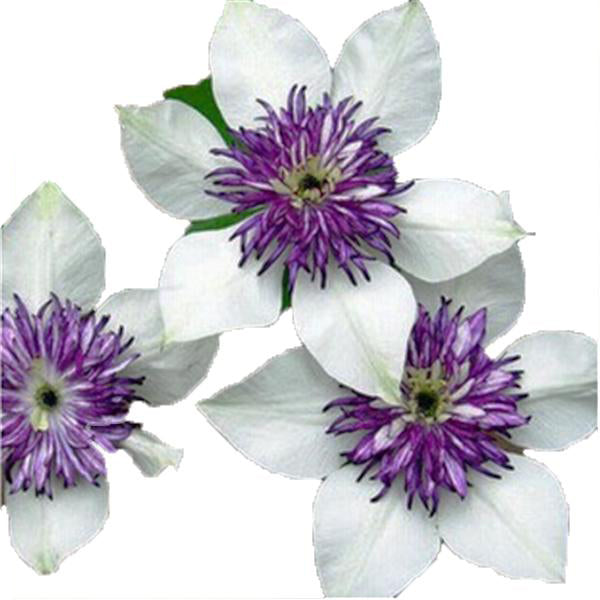 Clearance 50pcs / Bag Multi-Colored Clematis Seeds-Rama Deals