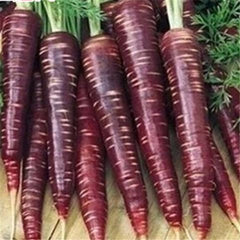 Black/Purple Carrot (50 Seeds)-Rama Deals