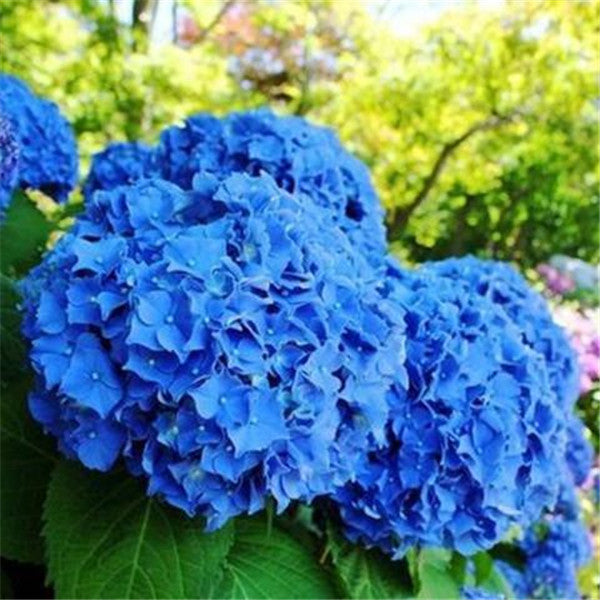 Clearance Blue Hydrangea Flower (20 Seeds)-Rama Deals