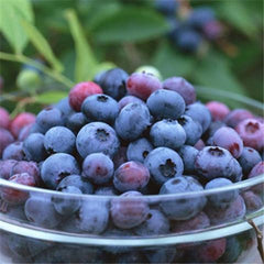 Blueberry Seeds (20 Seeds)