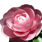 Clearance 100 Mixed Color Camellia Impatiens Seeds-Rama Deals
