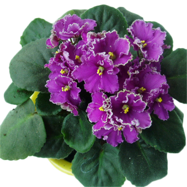 Clearance 100 PCS Violet Seeds-Rama Deals