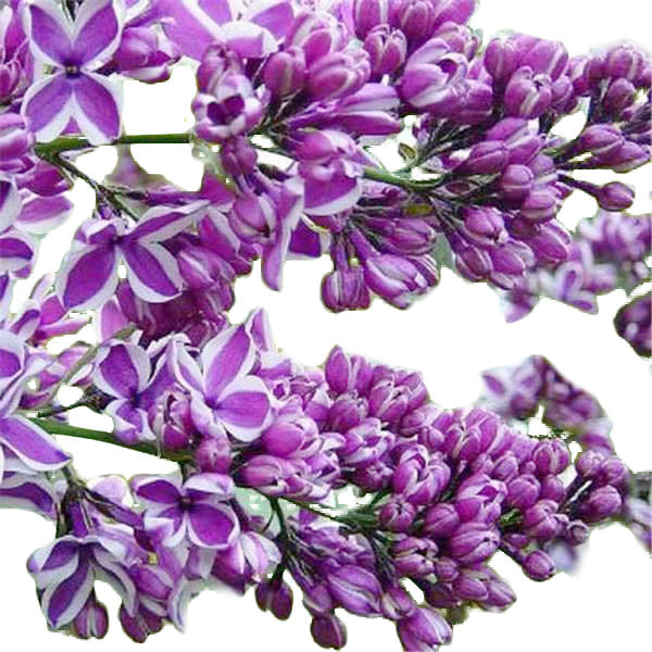 Clearance 250 French Syringa Flower Shrub Bush Seeds-Rama Deals