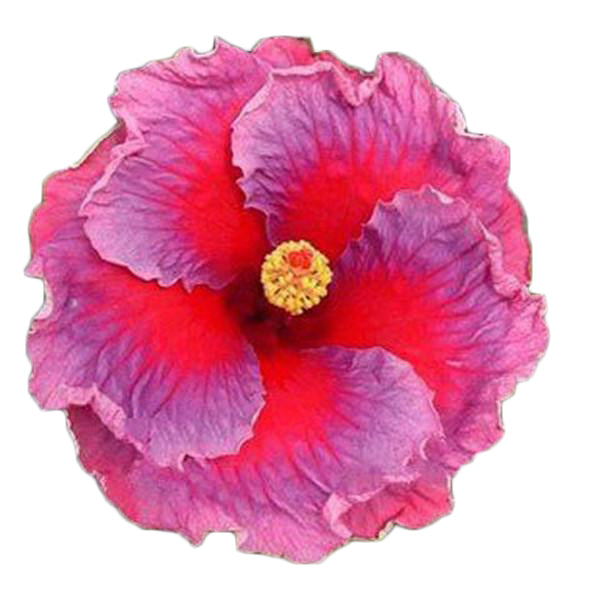 Clearance Dinnerplate Hibiscus/ Perennial Flower Seed-Rama Deals