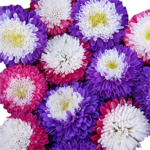 Clearance Mix Color Bright Summer Big Flowers 100seeds/bag-Rama Deals