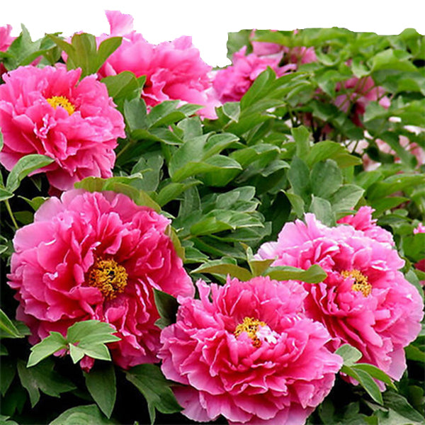 Clearance Pretty Peony Seeds 15pcs/pack-Rama Deals