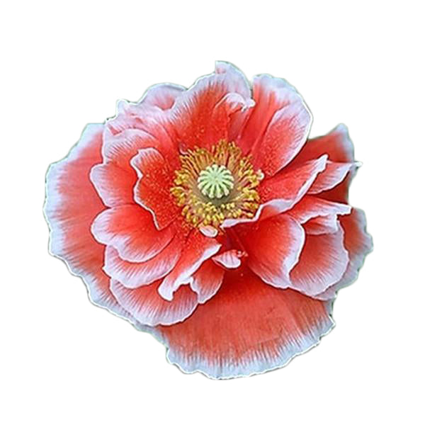 Clearance Rare Persian Poppy Flower Seeds-Rama Deals