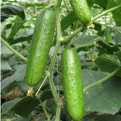 Evergreen Cucumber (20 Seeds)-Rama Deals