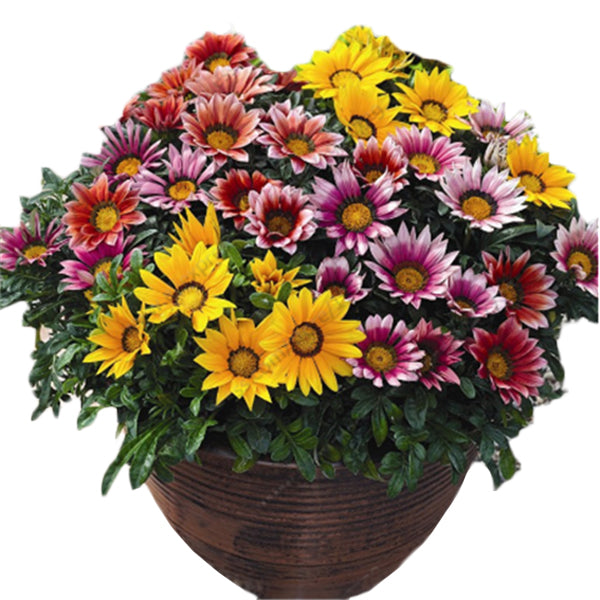 Clearance 50 seeds/Pack Dwarf Gazania seeds-Rama Deals