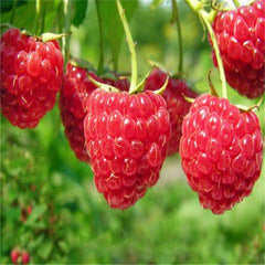 400 Raspberry Mixed Colors Rare Friut Seeds-Rama Deals