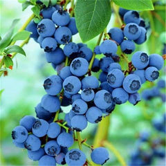 10Pcs/Lot Blueberry Tree Seed Fruit Blueberry Seed