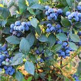 10Pcs/Lot Blueberry Tree Seed Fruit Blueberry Seed-Rama Deals