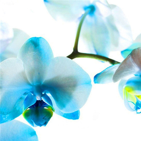 Clearance Phalaenopsis Seeds(50 seeds)-Rama Deals