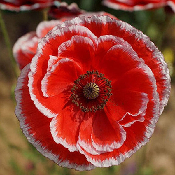 Clearance rare persian poppy flower seeds rama deals clearance rare persian poppy flower seeds rama deals mightylinksfo Images