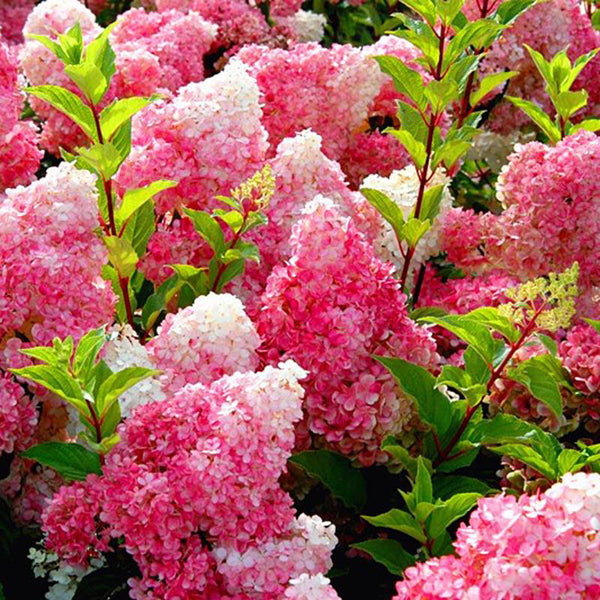 50pcs Vanilla Strawberry Hydrangea Flower Seeds-Rama Deals