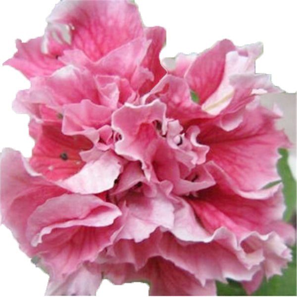 Clearance 100pcs/Lot Garden Petunia Petals Flower Seeds-Rama Deals