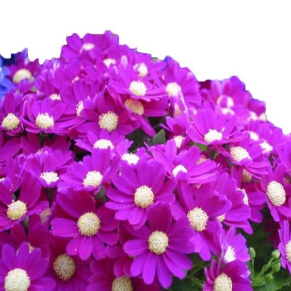 100 pcs/pack Mix color Cineraria Seeds-Rama Deals