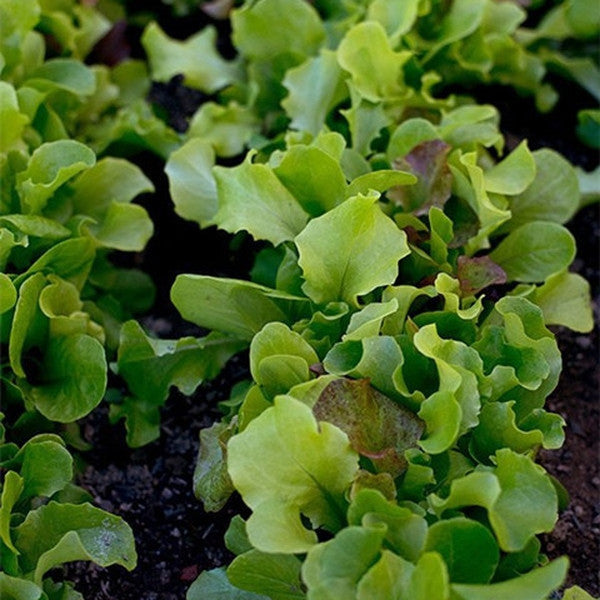 Pinetree Lettuce Mix (300 seeds)-Rama Deals
