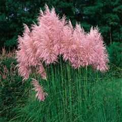 Pink Pampas Grass Seeds - Rama Deals