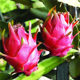 Pitaya Seeds (100 Seeds)-Rama Deals