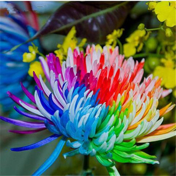 20 Rainbow Chrysanthemum Flower Seeds-Rama Deals
