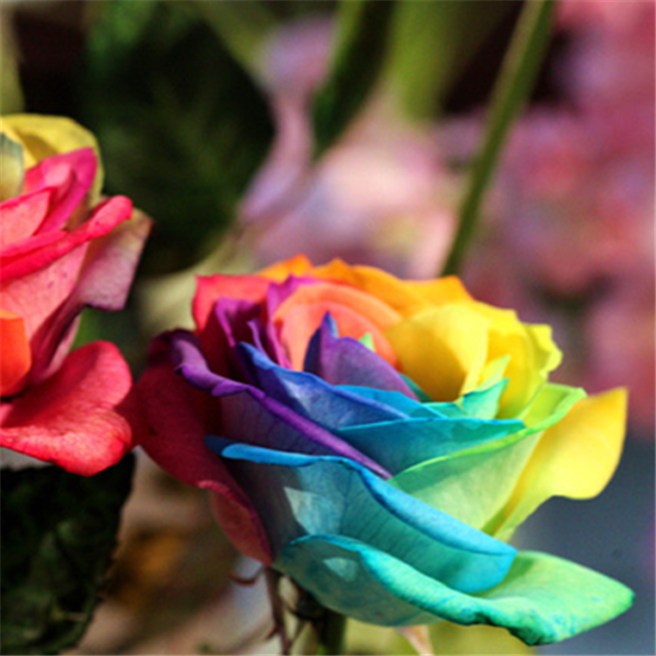 Rare Holland Rainbow Rose Flower Seeds Rama Deals