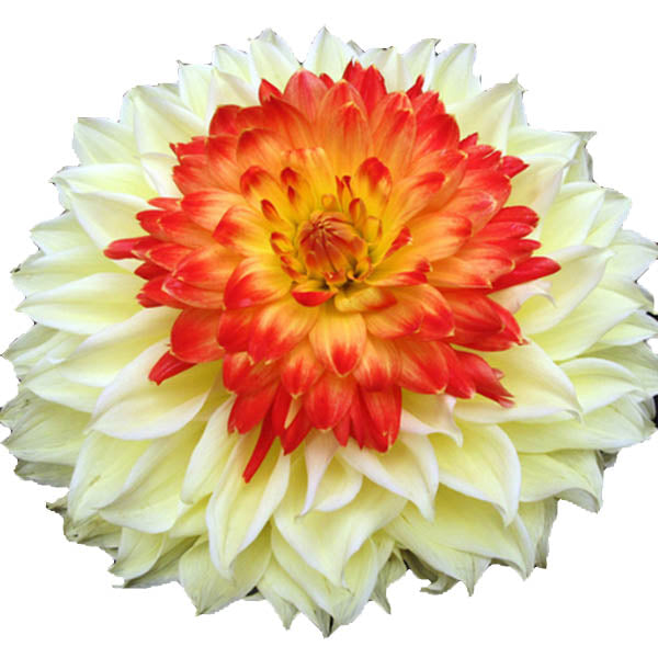 Rare Yellow Orange Dahlia Seeds Charming Chinese Flower Seeds-Rama Deals