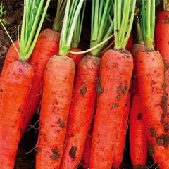 Red Carrot (100 Seeds) - Rama Deals - 1
