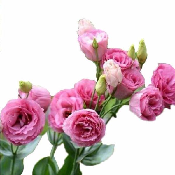 Red Eustoma Seeds(100 Seeds)-Rama Deals