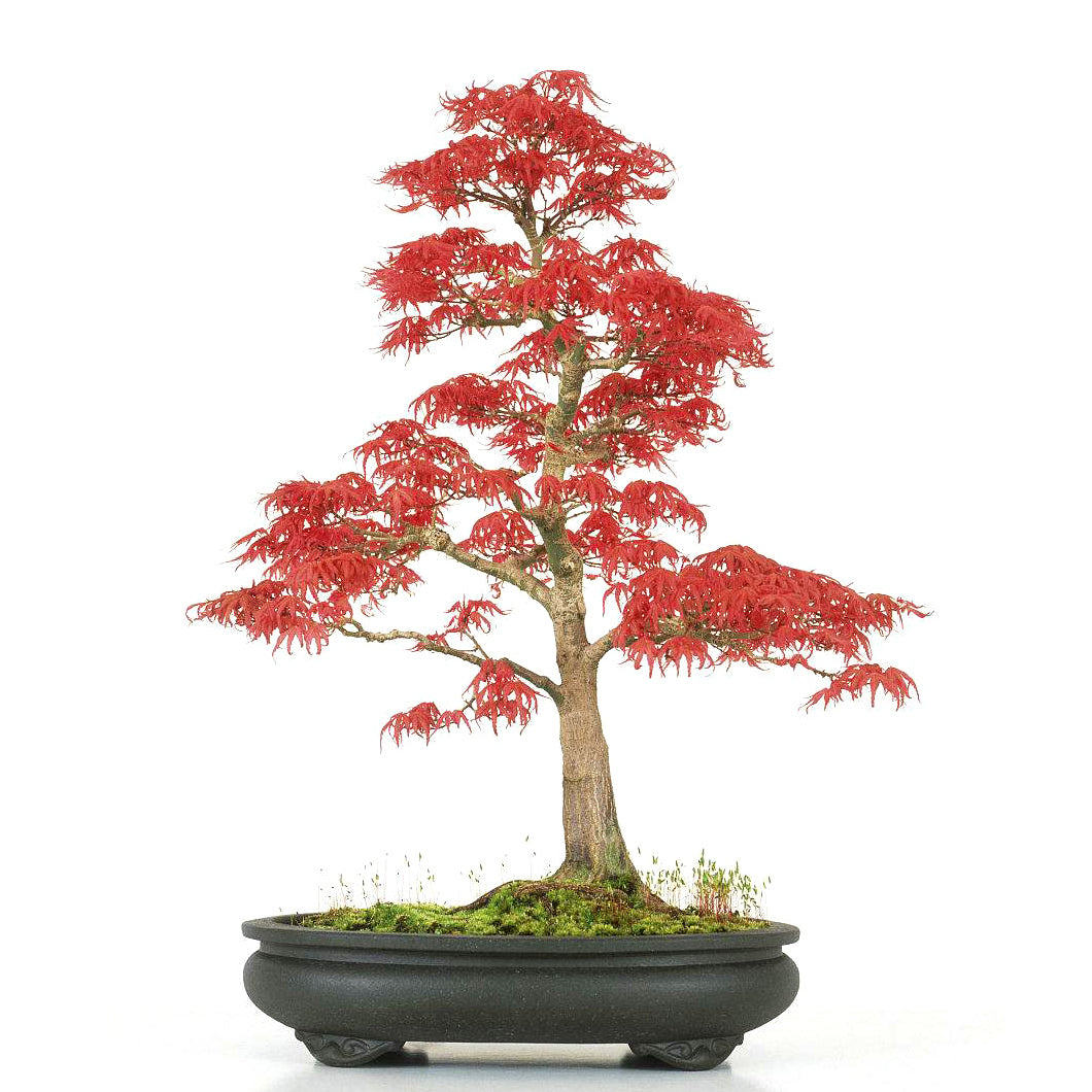 Red Maple Bonsai Tree (50 Seeds)-Rama Deals