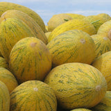Sweet Honey-Dew Melon (12 Seeds)-Rama Deals