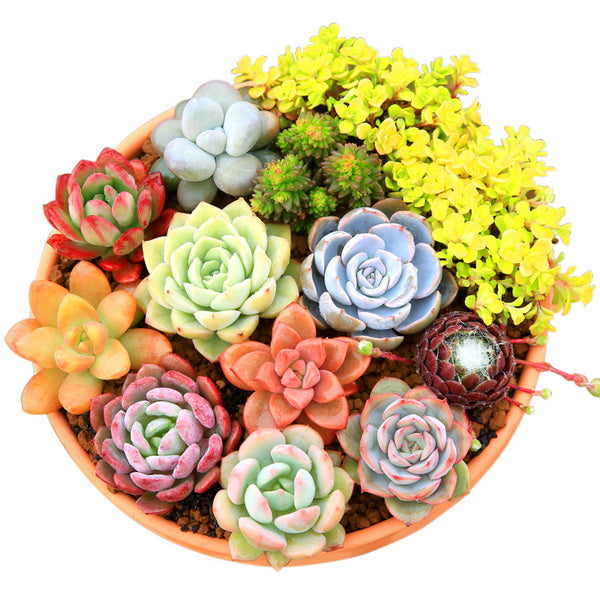 1 Bag 50 Seeds Purple Succulents Seeds Mini Potted-Rama Deals